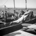 Ловля тунца в Tavira, Algarve, 1944-1946. Фото AML